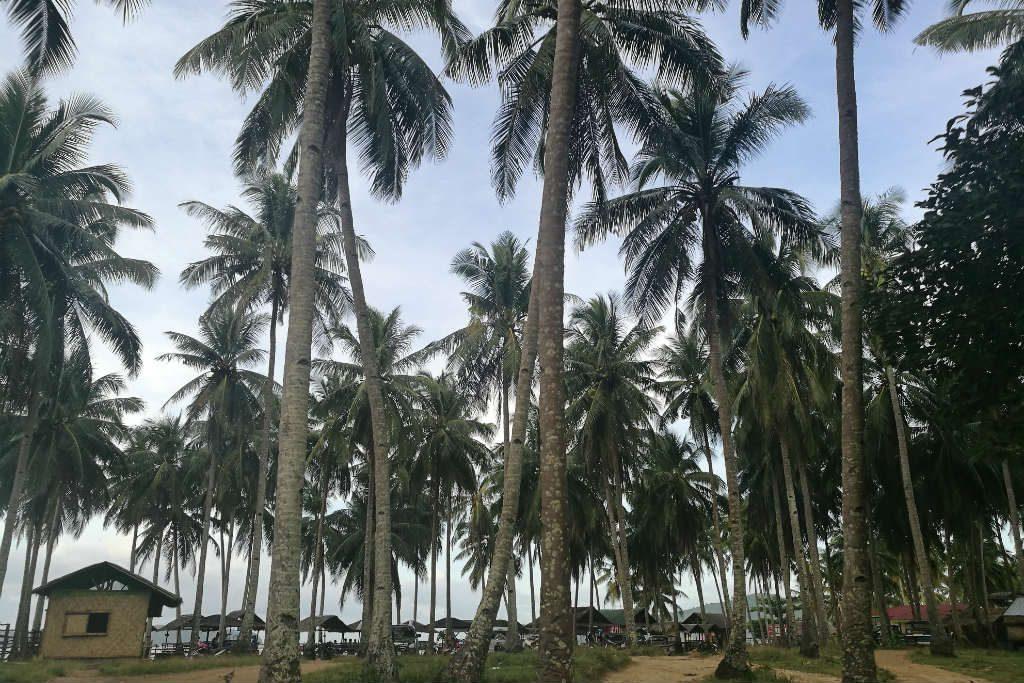 Palm trees - the beautiful sight when you reach Nacpan Beach