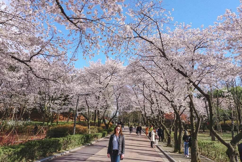 Cherry blossom season in Seoul