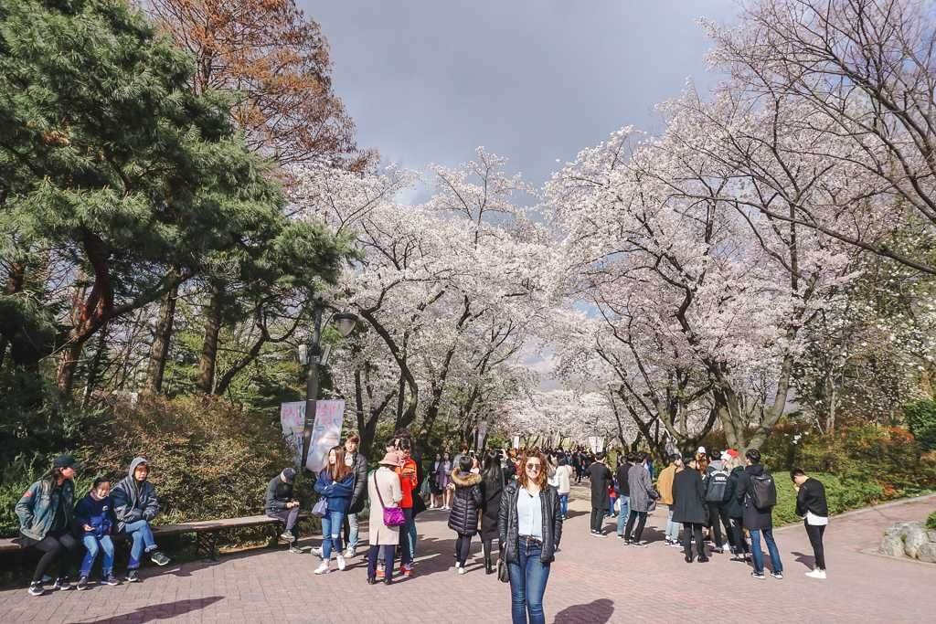 Cherry blossoms in South Korea's capital city, Seoul