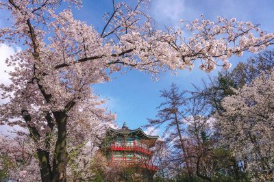 Where to see cherry blossoms in Seoul