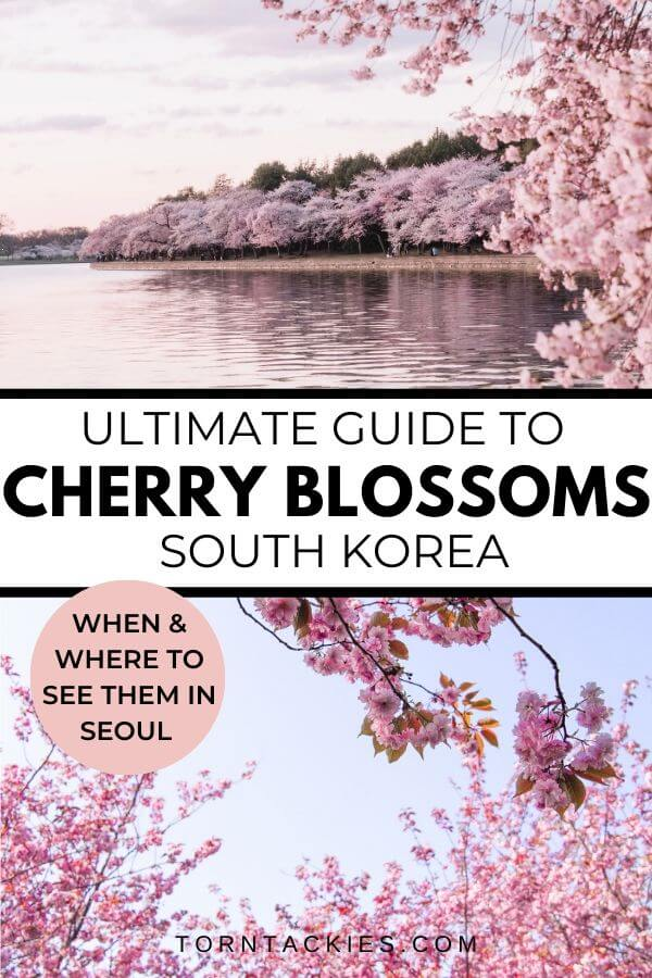Travel guide to cherry Blossoms in South Korea this Spring - Torn Tackies Travel Blog