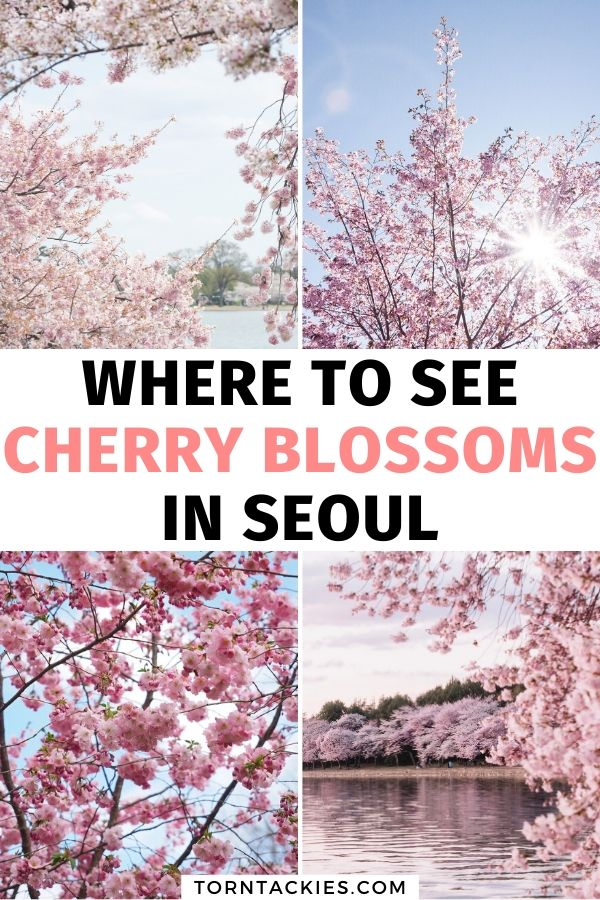 Where to see cherry blossoms in Seoul, Korea - Torn Tackies Travel Blog