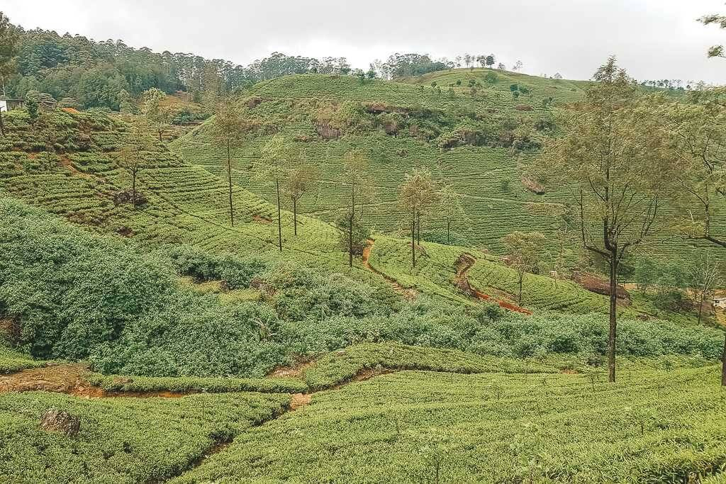 There are endless tea plantations in Nuwara Eliya