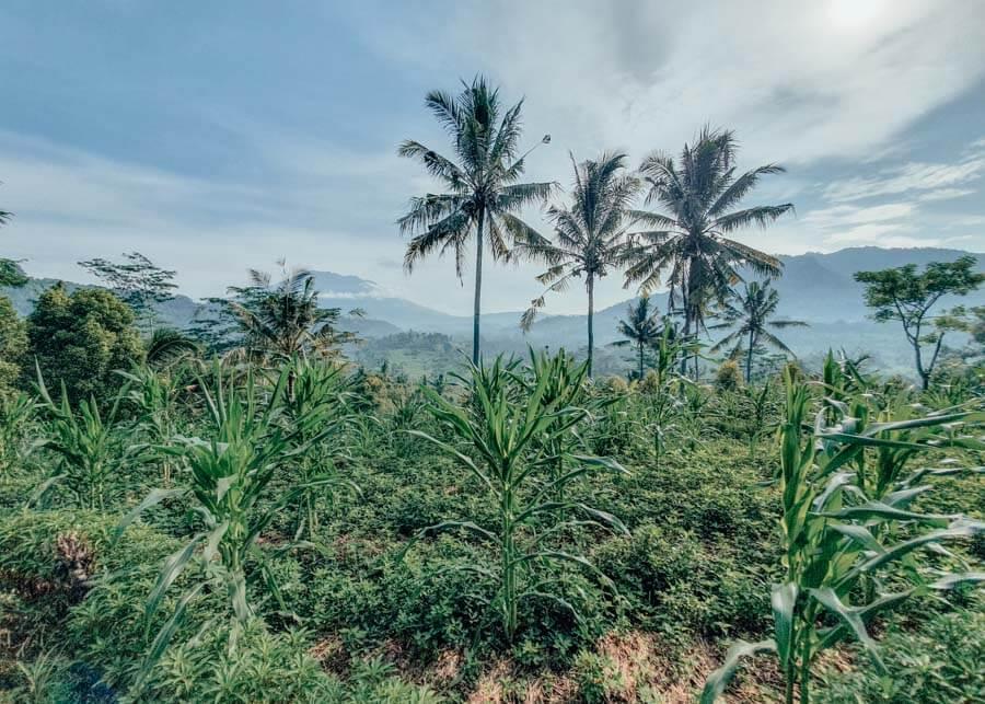 Rice Fields in Sidemen, Indonesia
